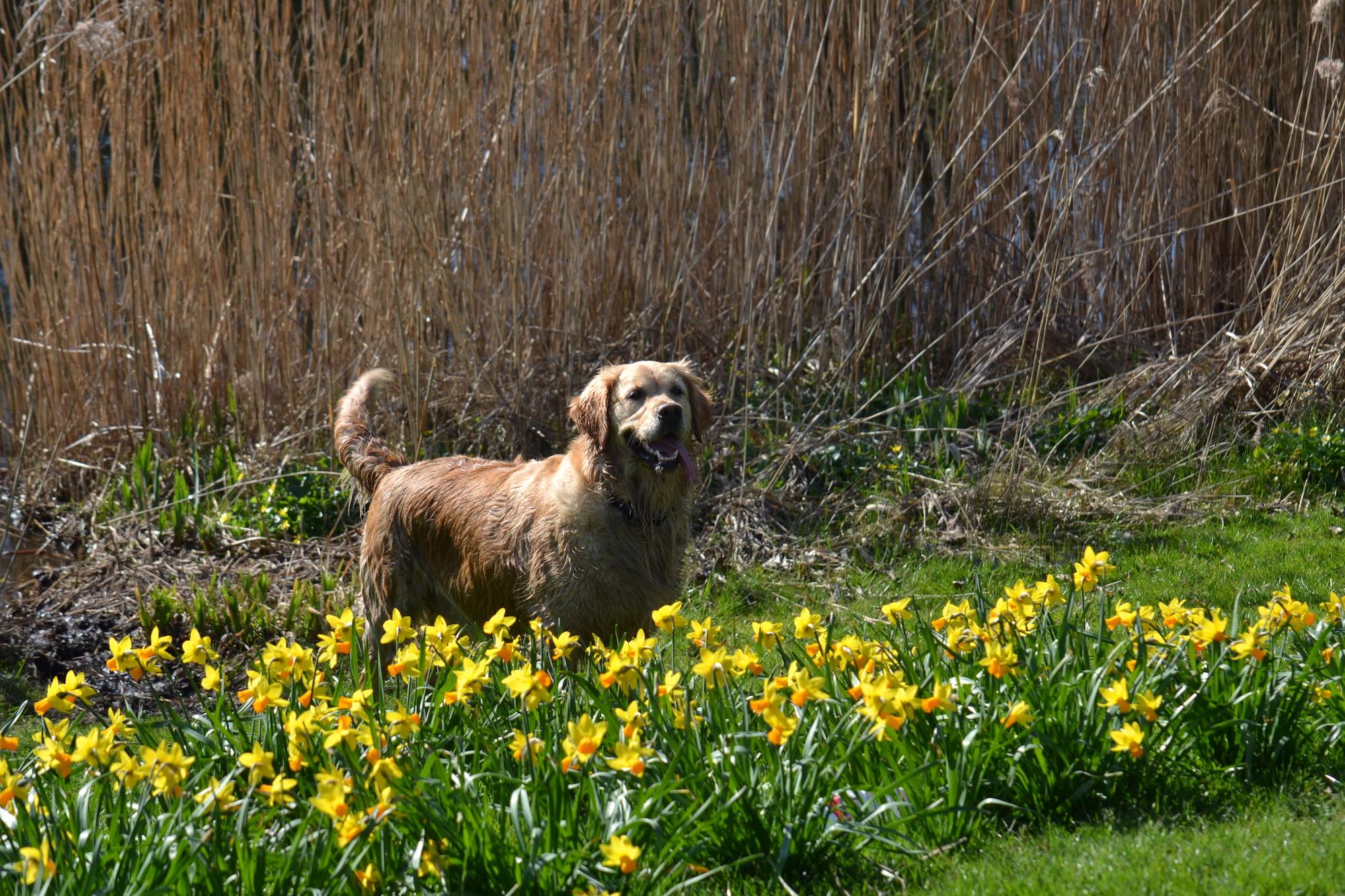hond ramona