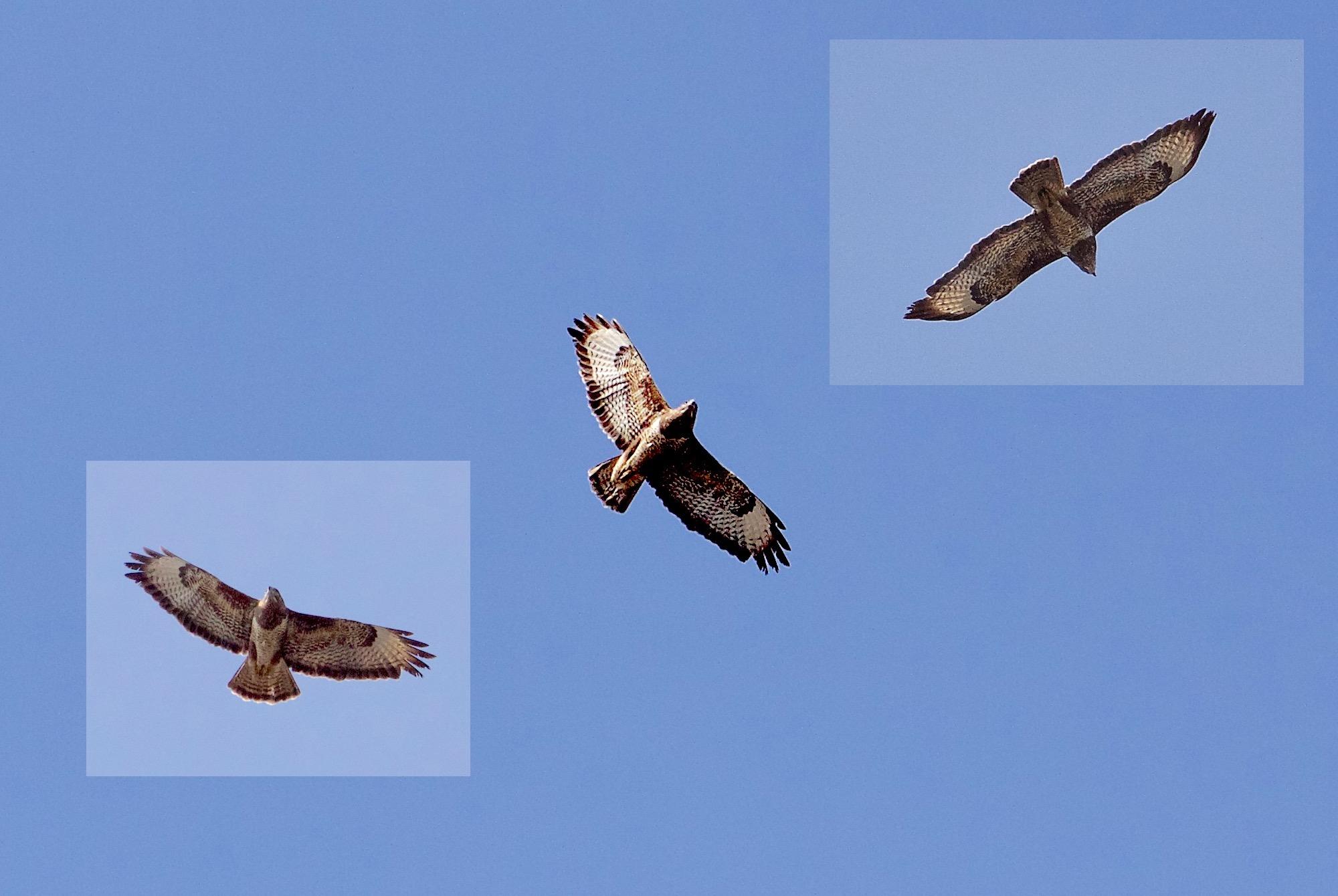 passantbird2 - 1