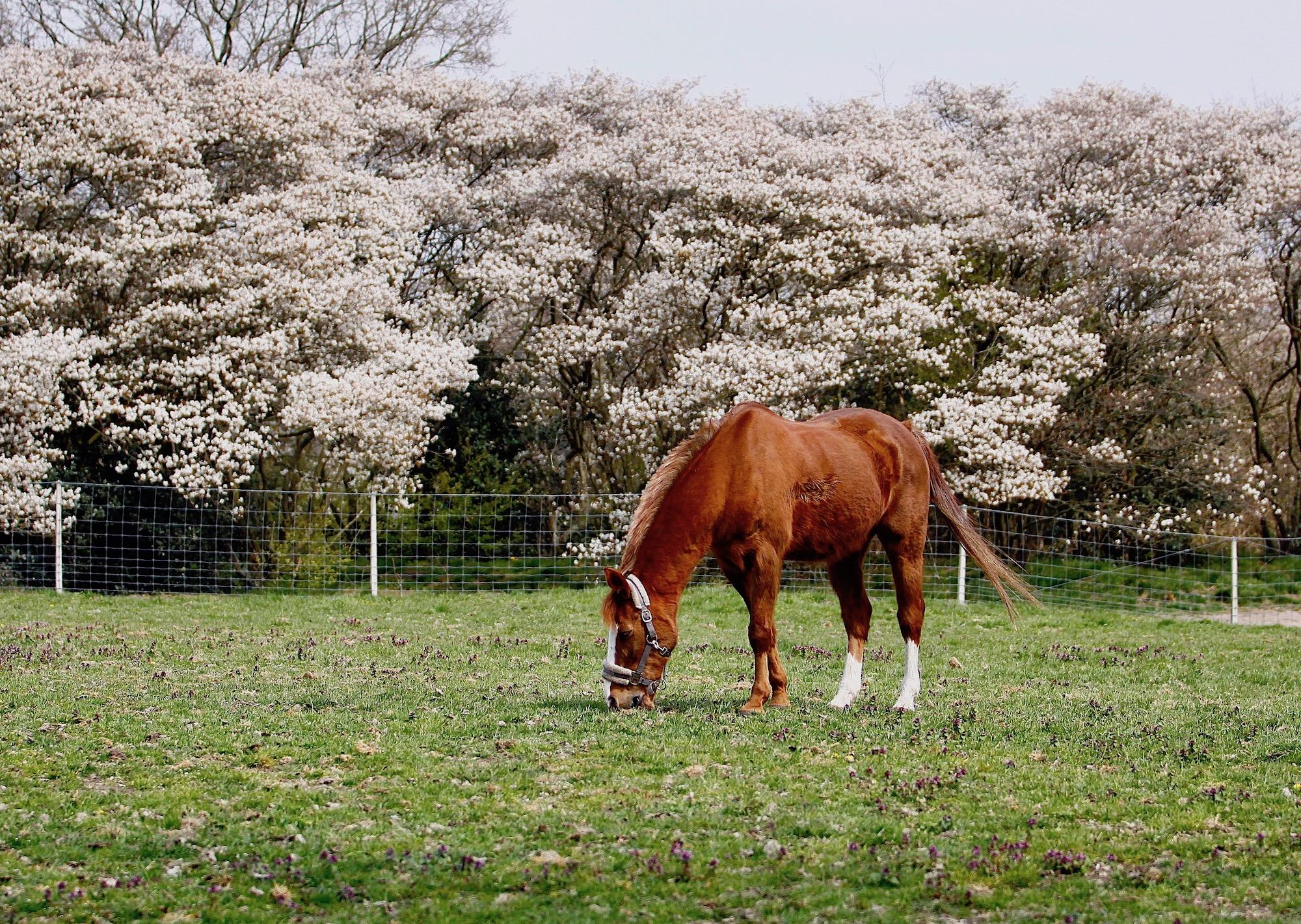 paardkrenten - 1