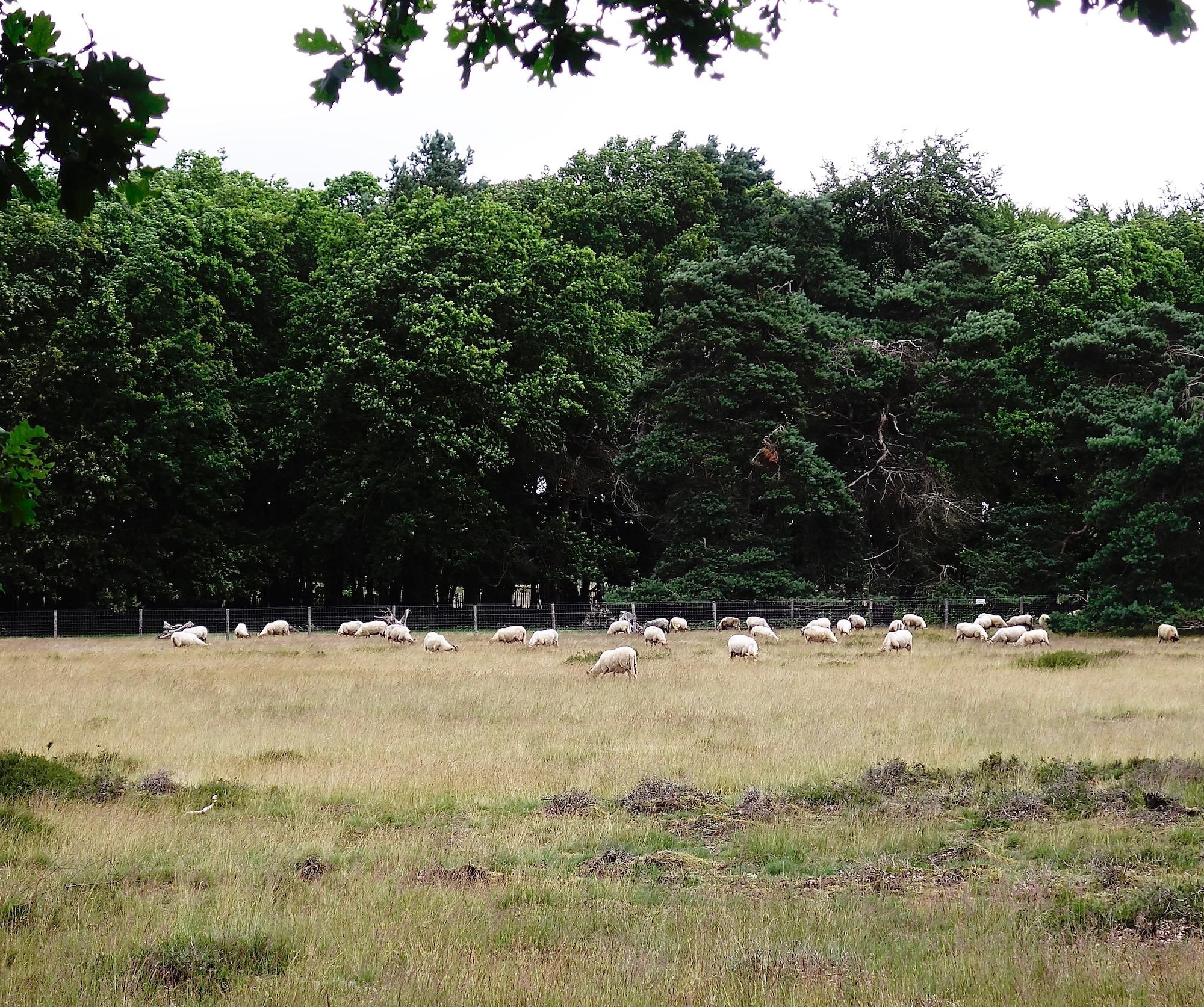 schapen - 1