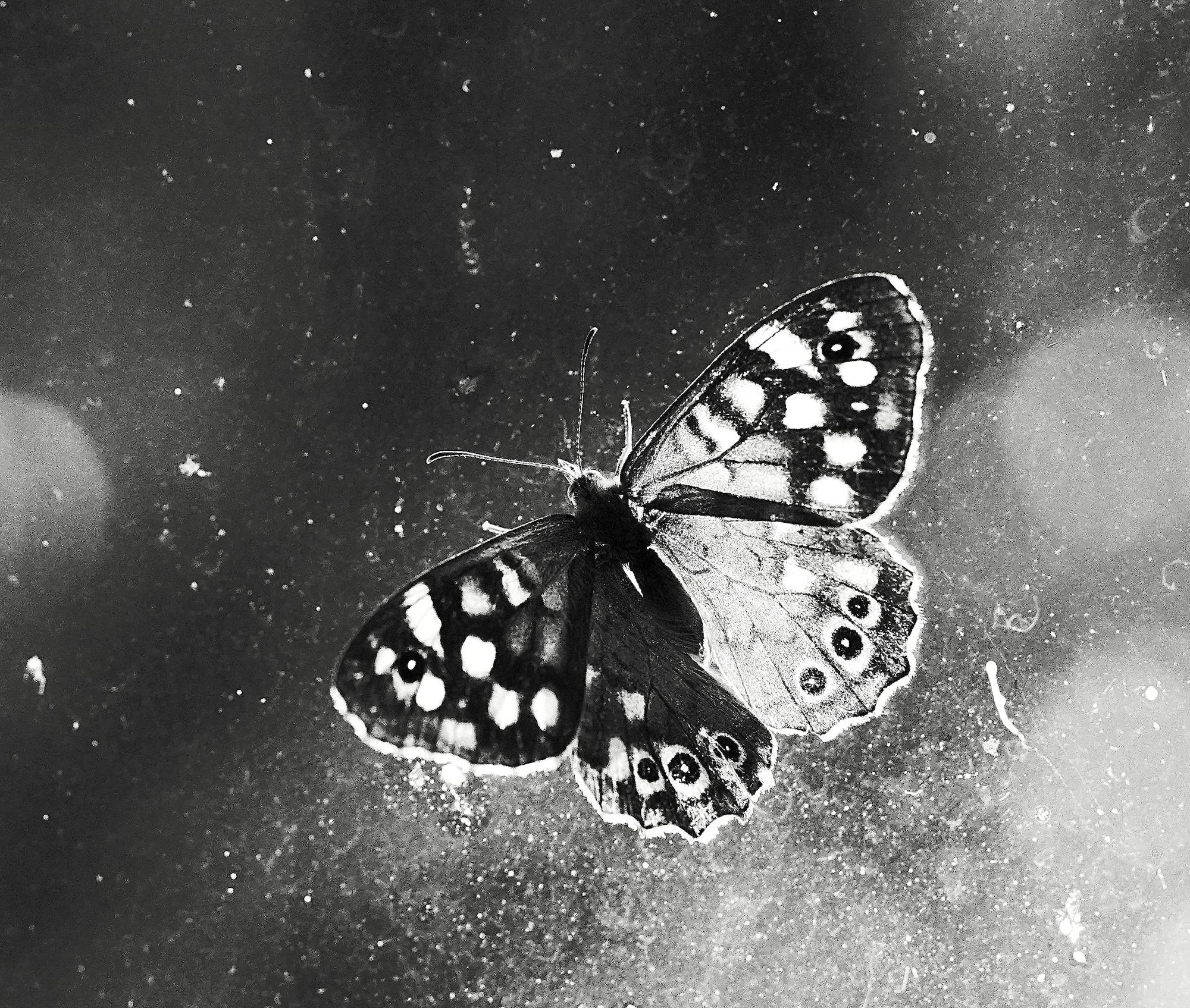 vlinder-bw-4 - 1