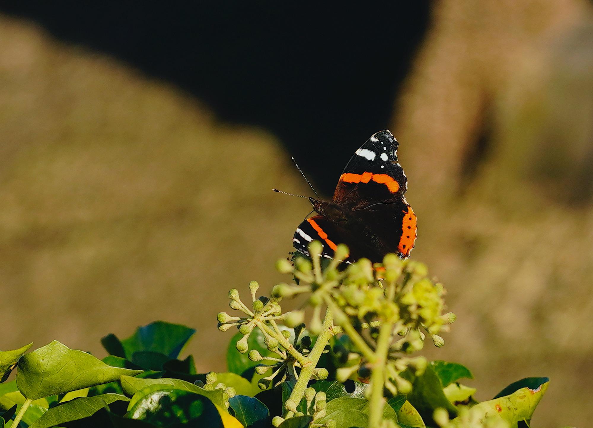 vlinder1 - 1